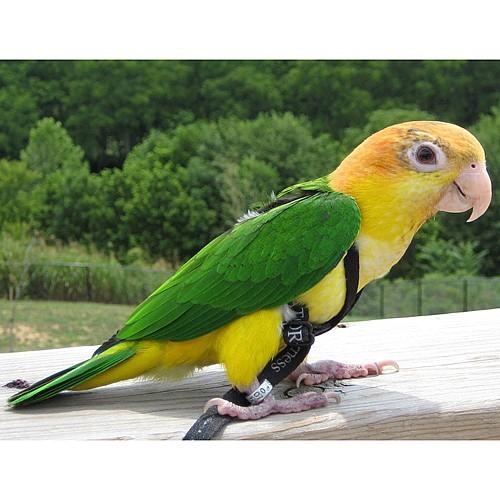 Aviator Parrot Harness Small Garden Feathers Bird